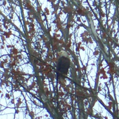 WR bald eagle